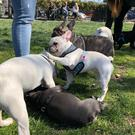 The Eastbay French Bulldog Meetup