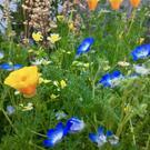 California Native Plant Society Yerba Buena (SF) Group