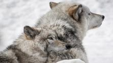 Hike and Wolf Preserve with transportation from NYC